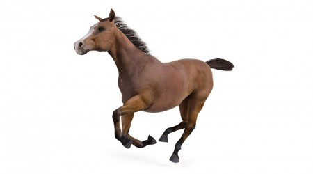 Bay horse galloping