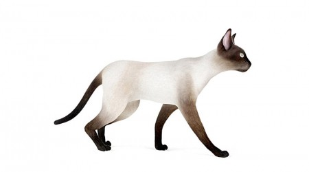 Siamese cat walking