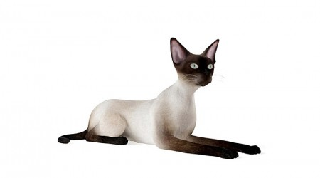 Siamese cat lying down