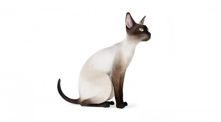 Siamese cat sat