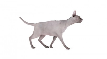 sphynx cat walking
